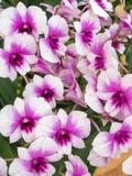 Thai orchid flower background. Purple thai orchid flower background stock photo