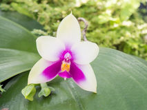 Thai orchid flower. Close up thai orchid flower royalty free stock image