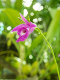 Thai orchid flower. Purple thai orchid flower background stock photography
