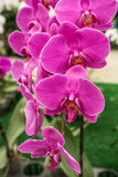 Thai orchid. Group of orchid in garden nokornpratom thailand Royalty Free Stock Image