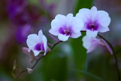 Thai Orchid 03. Shoot inside the garden Stock Image