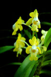 Thai orchids. The wild orchids of thailand Stock Images