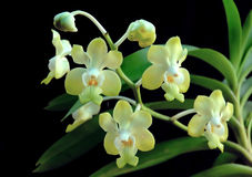 Thai orchids. The wild orchids of thailand Royalty Free Stock Image
