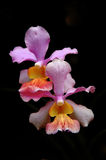 Thai orchids Stock Photos