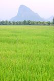 Thai paddy Royalty Free Stock Images