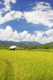Thai paddy field royalty free stock photo