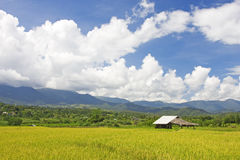Thai paddy field stock images