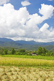 Thai paddy field royalty free stock photography