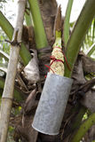 Thai Palm Sap. Collecting palm sap from the sugar palm, Arenga pinnata, or the nipa palm inflorescence to make sugar palm which is used in sweets and desserts royalty free stock images