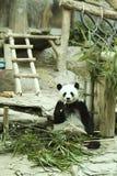 Thai panda Royalty Free Stock Photo