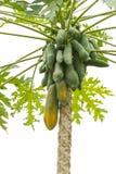 Thai papaya tree fully with papaya fruit close up, on Nature background. royalty free stock photos