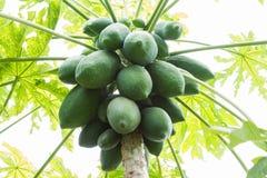 Thai papaya tree fully with papaya fruit close up, on Nature background. stock images