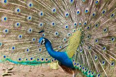 Thai Peacock spread the tail feathers Royalty Free Stock Photography
