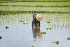 Thai peasant agriculture Stock Photo