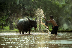 Thai peasant men are bathing for buffaloes Stock Photography