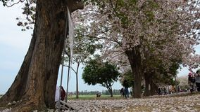 Thai people and foreigner travellers walking and visit looking Tabebuia rosea or rosy trumpet tree at garden stock video footage