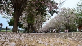 Thai people and foreigner travellers walking and visit looking Tabebuia rosea or rosy trumpet tree at garden. NAKHON PATHOM, THAILAND - APRIL 17 : Thai people stock video