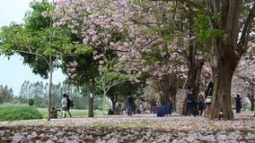Thai people and foreigner travellers walking and visit looking Tabebuia rosea or rosy trumpet tree at garden. NAKHON PATHOM, THAILAND - APRIL 17 : Thai people stock footage