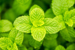 Thai peppermint Royalty Free Stock Photos