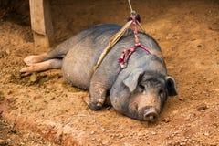Thai pig chiangmai Thailand Stock Images