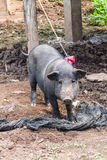Thai Pig, Wild boar Stock Images