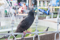 Thai pigeon Royalty Free Stock Photography