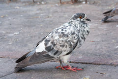 Thai pigeon Royalty Free Stock Photo