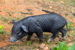 Thai piglet Royalty Free Stock Images