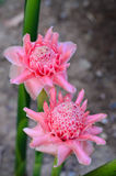 Thai Pink flower  blossom in the garden. Royalty Free Stock Photo