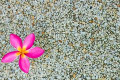 Thai pink plumeria flowers with sand and waterbackground stock photography