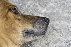 Thai primitive brown dog with lonely eye laying on the gray conc. Rete garage floor Royalty Free Stock Image