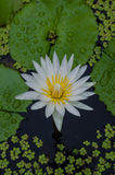 Thai purple  lotus in pond. Stock Images