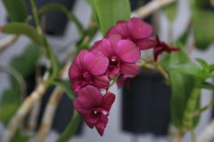 Thai purple orchid Royalty Free Stock Photos