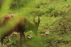 Thai Red Barking Deer at an animal sanctuary. Mae Hong Son, Northern Thailand Royalty Free Stock Images