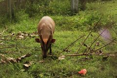 Thai Red Barking Deer at an animal sanctuary. Mae Hong Son, Northern Thailand Stock Photos