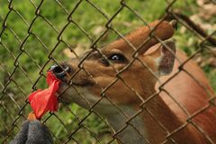 Thai Red Barking Deer at an animal sanctuary. Mae Hong Son, Northern Thailand Stock Images