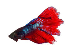 Thai red betta fighting fish top form isolated white background Royalty Free Stock Photos