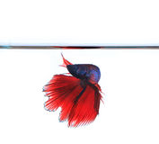Thai red betta fighting fish top form under clear water isolated. White background royalty free stock image