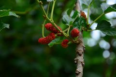 Thai red mulberry in branch royalty free stock photo