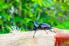 Thai rhinoceros beetle eating sugar cane Royalty Free Stock Photos