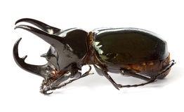 Thai rhinoceros beetle Royalty Free Stock Photos