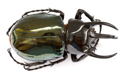 Thai rhinoceros beetle Stock Images