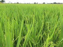 Thai rice. Close up Cornfield green rice Royalty Free Stock Images