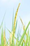 Thai rice ear close up, Thailand Stock Image