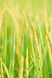 Thai rice ear close up, Thailand Stock Photos