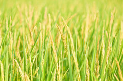 Thai rice ear close up, Thailand Royalty Free Stock Images
