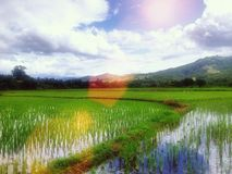 Thai rice farm Royalty Free Stock Image