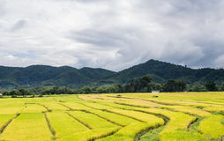 Thai Rice Farm. Thailand rice farm in chiangmai noth of thailand Royalty Free Stock Images
