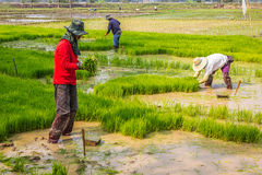 Thai rice farmer working Royalty Free Stock Images