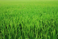 Thai Rice field Stock Photos